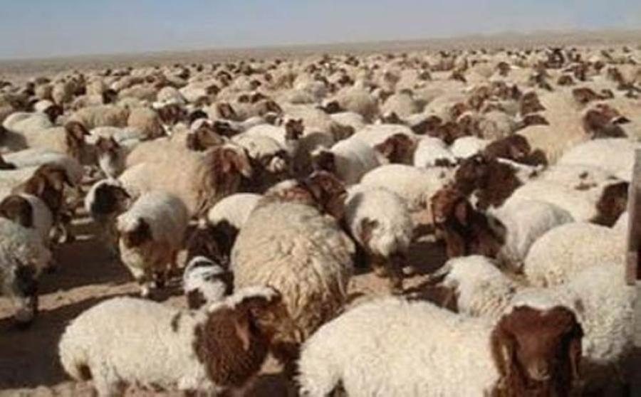 1000 دينار لمن يعثر على قطيع غنم ضائع