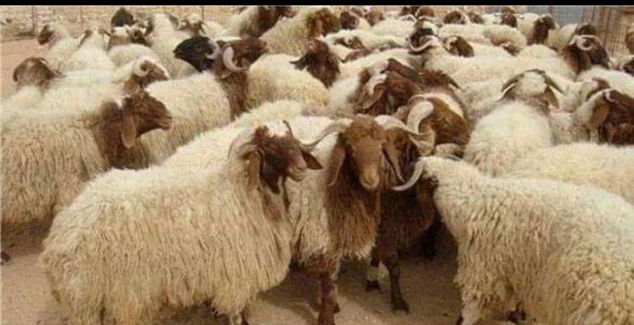 تحصين الماشية في البادية الشمالية الشرقية
