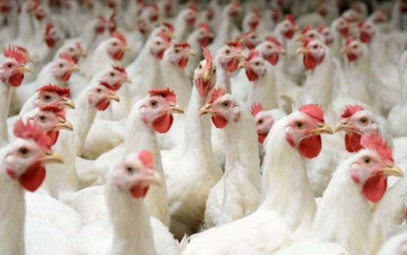 الحنيفات  وزارة الزراعة ستفتح باب استيراد الدجاج في حال استمر ارتفاع أسعارها في السوق المحلي