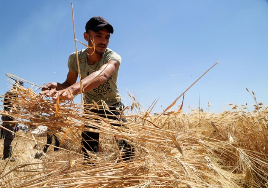 الجفاف في سوريا يعصف بـ«عام القمح»