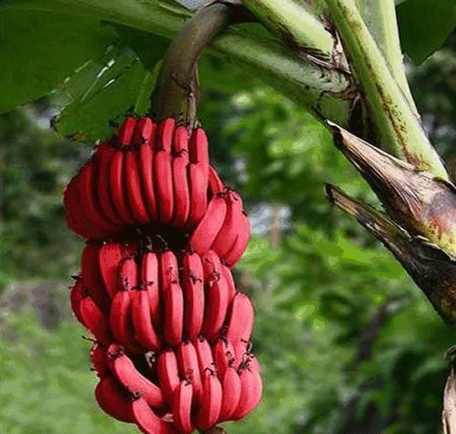 ماذا تعرف عن الموز الأحمر